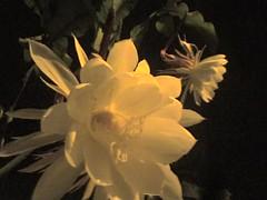 Flor de la Luna 6