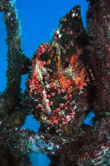 Multi-coloured frogfish