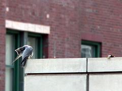 """Peregrine Falcon (probably MCC Male """"Max"""") 2"""