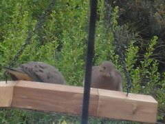 Doves in the feeder