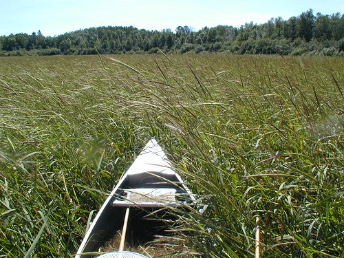 Canoe and Minnesota wild rice