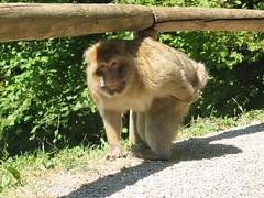 an ape scratching his butt