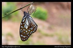 ButterflyFromPupa