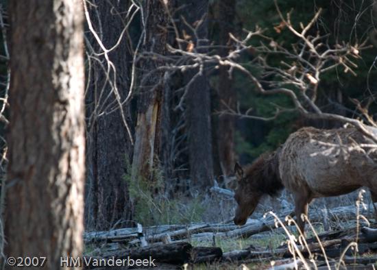 Unsuspecting Elk