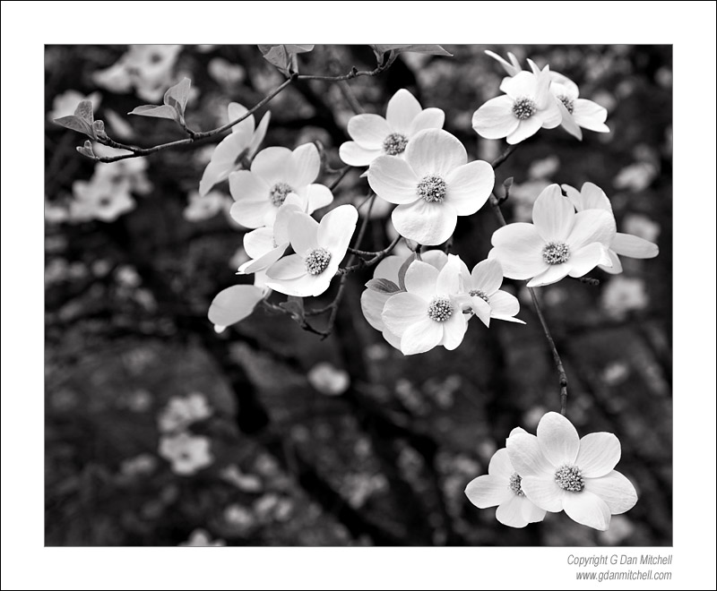 Dogwood Blossoms, Yosemite Valley