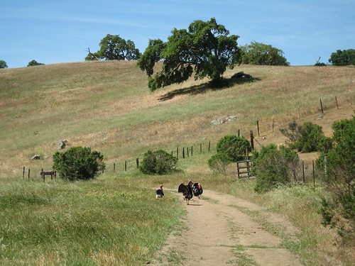 Wild Turkeys, Calero County Park