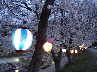 blossoms lit by lanterns