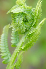 Fiddlehead Unfurling