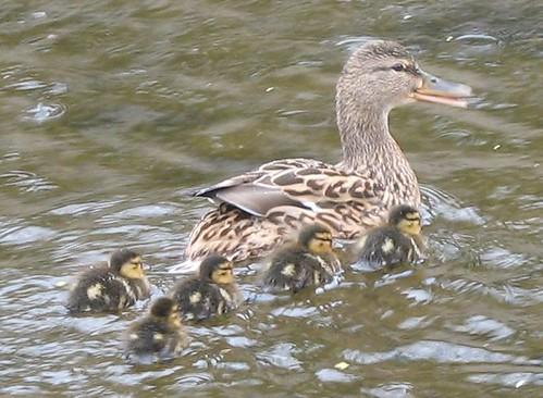 ducklings3
