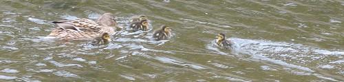 ducklings4