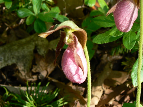Pink Lady Slipper Orchids