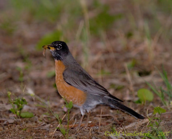 The Robin and Dinner