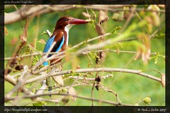 White-Throated-Kingfisher