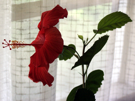 2nd Hibiscus Bloom of 2007