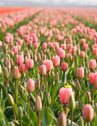 Campo de tulipanes rosados
