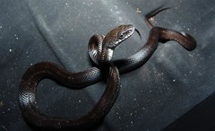 Black Rat Snake in Trunk 2