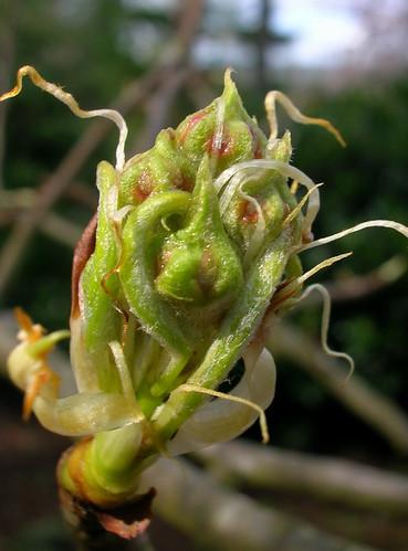 Pear buds