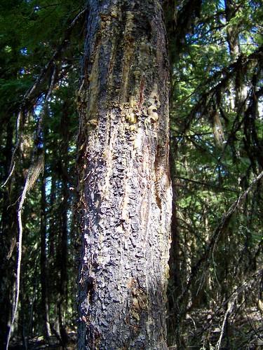 Bear tree scratches