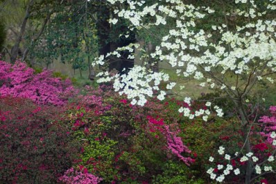 dogwood and azaleas 2