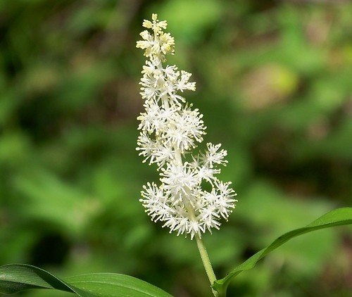 Feathery False Lily of the Valley