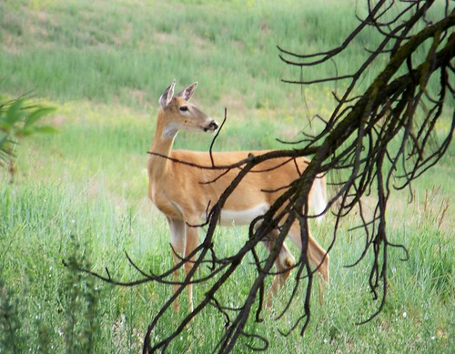 White-tail doe