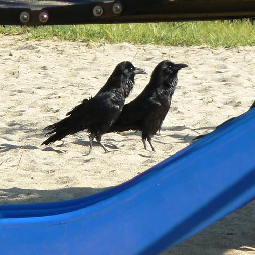 Walking Ravens