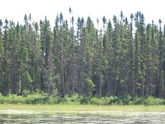 Classic northern MN black spruce stand. Click for a better view.