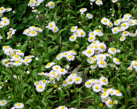 Field of Fleabane