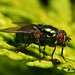 Fly with dented eye Lucilia caesar (Greenbottle)