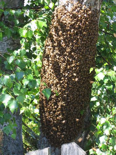 photo essaim abeilles