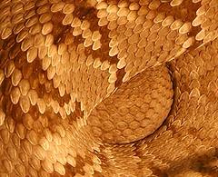 Rattlesnake detail