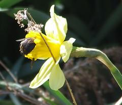 daffodil bumblebee