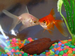 (c) Hilltown Families (Une & Color - Persephone's first gold fishes)