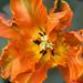 Tulipán Día a Día