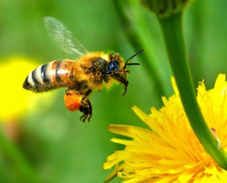 European Honey Bee Touching Down - Photo : autan