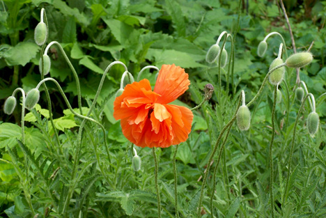 Another Solo Poppy