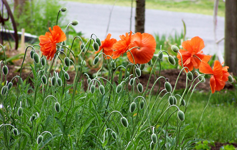 Bunch of Poppies