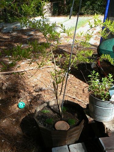 Pomegranete tree