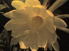 Flor de la Luna 7