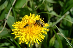 Dandelions and pollinators