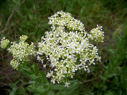 Yarrow (achillea mille folium)