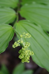 False Solomon's Seal - May 16