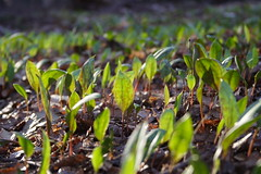 Trout Lily Forest (not using Reverse Lens)