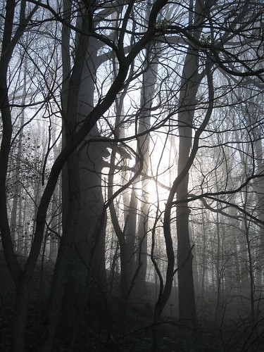 Beech Woods in Fog