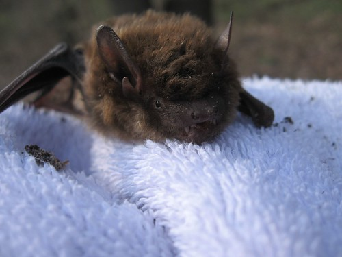Bat on Towel