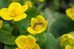 Everybody Likes Marsh Marigolds