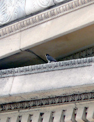 Nesting on the North Side?