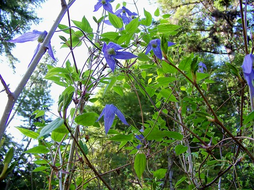 Blue clematis or Clematis occidentalis