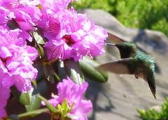 (c) Hilltown Families.  Hummingbird in West Chesterfield.