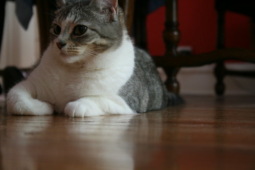 Cat on a dirty wooden floor
